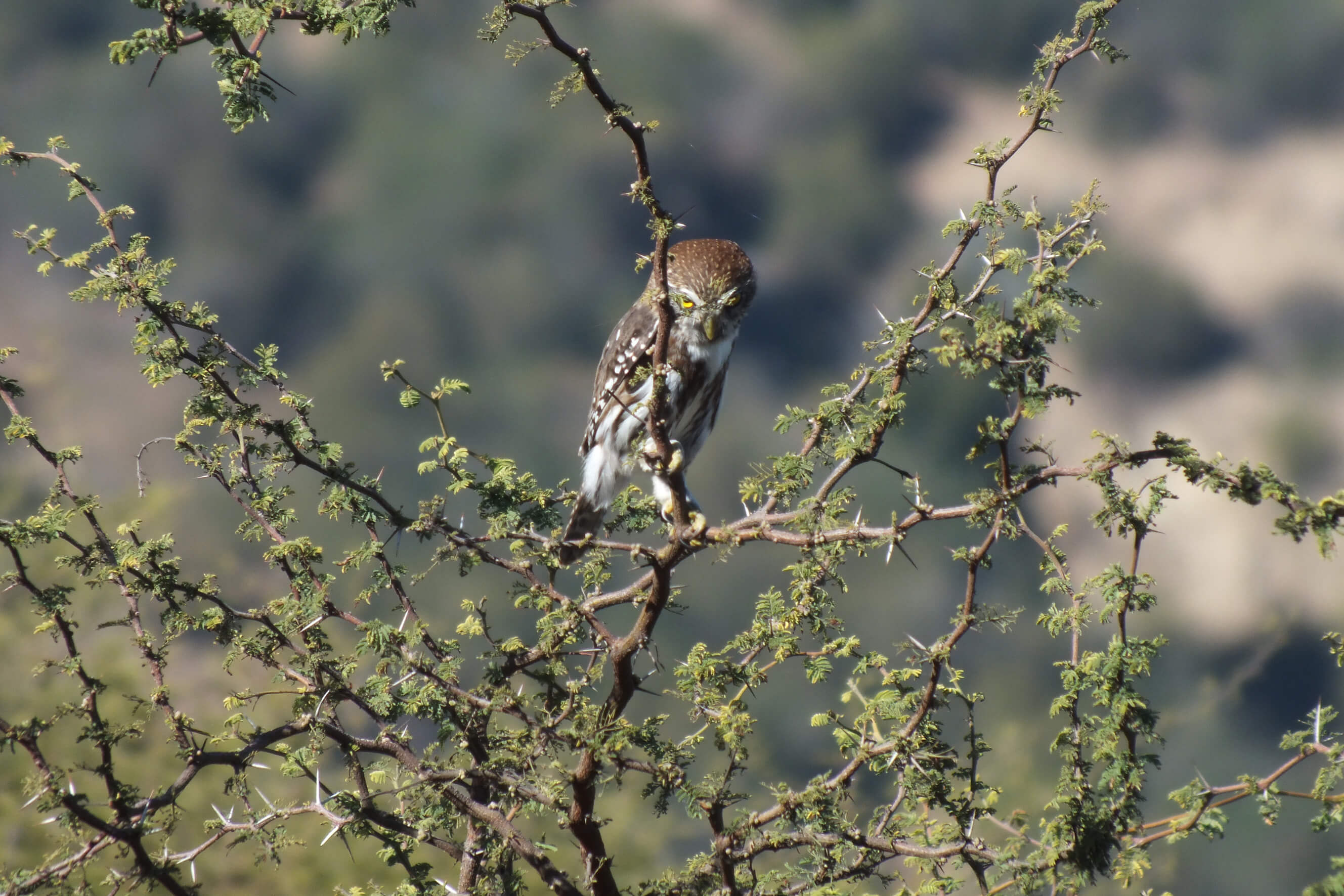 An owl looks for the next meal in the Caliterra vineyard