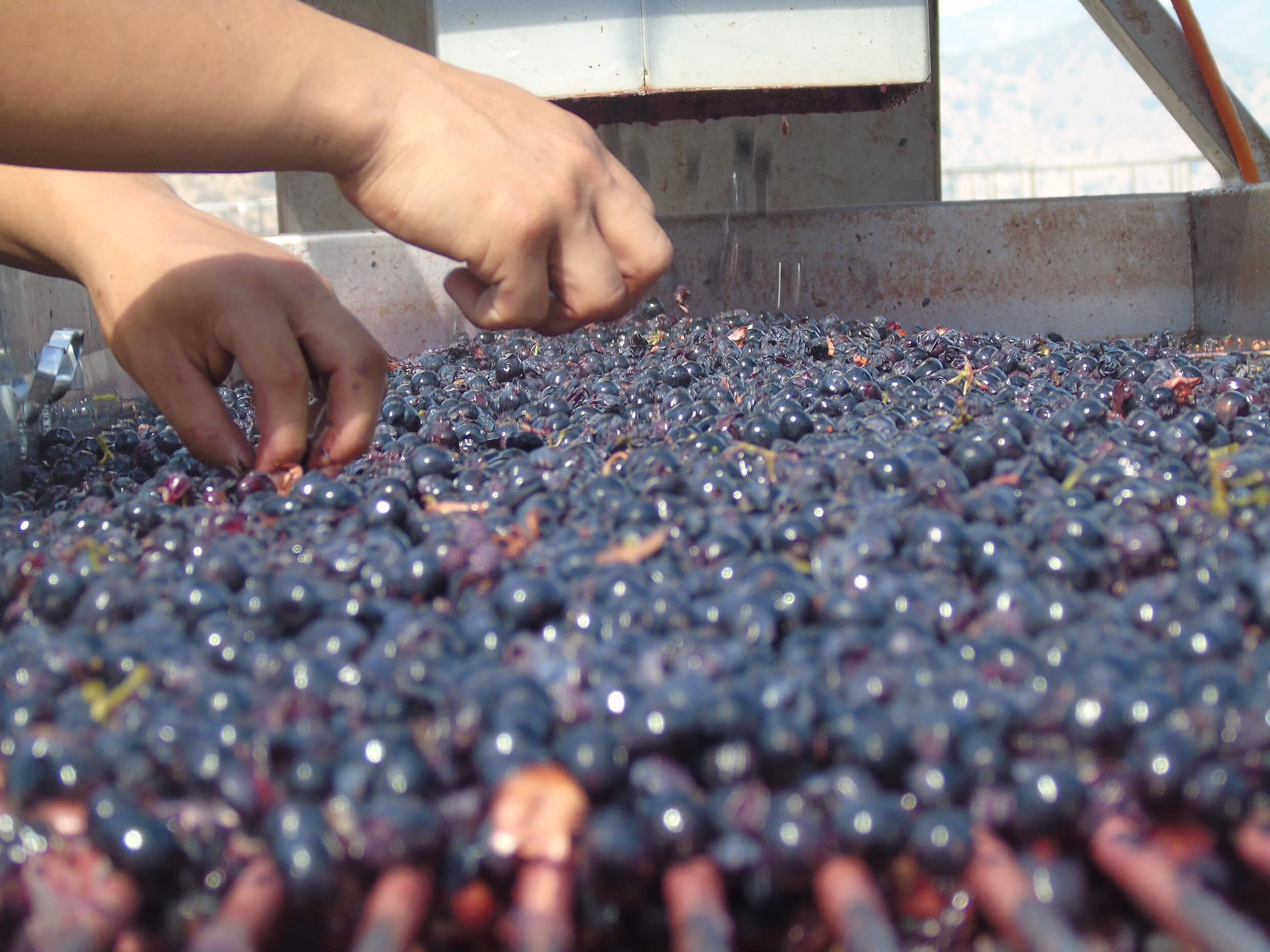 Hand checking red grapes on a conveyor at the winery